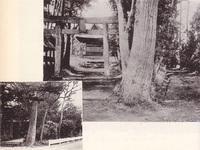 粕谷八幡神社 別れの杉